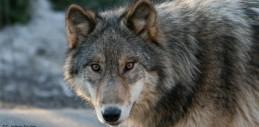 cropped-wolf-cc-jethro-taylor-500px.jpg
