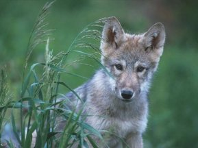 bush-gray-wolves-endangered-species-list-again.jpg.650x0_q85_crop-smart