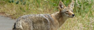 cropped-coyote_post2.jpg
