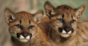 Mountain-Lion-Cubs-FB