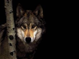 wolf-wolves-9426312-1024-768