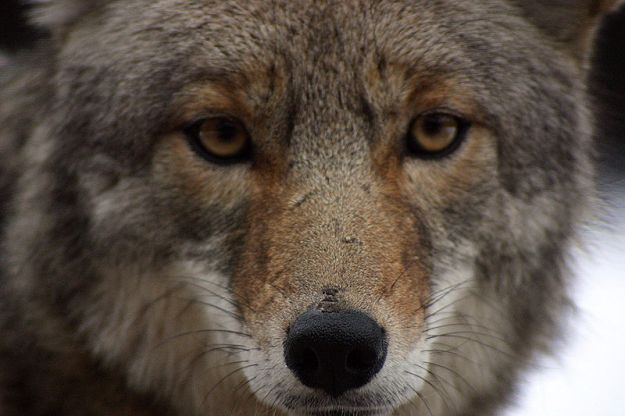 coyote-close-up