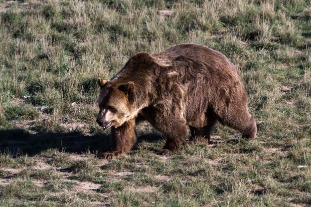 grizzly-bear-1777810_1920 (1).jpg
